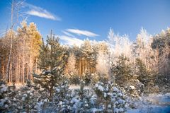 Winter landscape. Winter wood landscape, wood in the winter Royalty Free Stock Photos