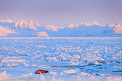 Winter landscape with animal. Walrus, Odobenus rosmarus, stick out from blue water on white ice with snow, Svalbard, Norway. Winte Royalty Free Stock Images