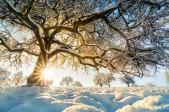 Winter landscape: backlit tree on a field. Winter rural landscape with the sun shining behind a beautiful snow-covered tree on a field, with blue sky Stock Images
