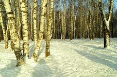Winter landscape with beatiful birchwood. Beautiful birchwood in the Russian winter forest royalty free stock images