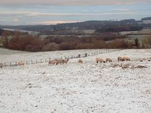 Winter Landscape, With Beautiful Sheep, Northumberland. Sheep in lovey landscape, Crookham, Northumberland UK Royalty Free Stock Photo