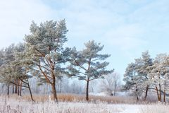Winter landscape with the beautiful, snow-covered pine trees.  Stock Photos