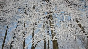 Winter landscape - beautiful trees, covered with hoarfrost, against the background of a bright blue sky. A sunny day in the winter forest - a pattern of snow stock video footage