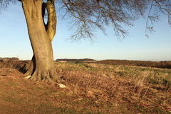 Winter landscape with Beech tree and fields Stock Photos