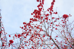 Winter landscape with berries of a mountain ash on a tree Royalty Free Stock Image
