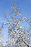 Tree in snow on blue sky Royalty Free Stock Photo