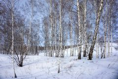 Birch bare trees grow on a snowy hill, against a blue sky. Winter landscape. Birch bare trees grow on a snowy hill, against a blue sky Royalty Free Stock Photography