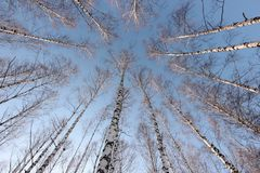 Birch trees in the setting sun in the winter park Stock Photos