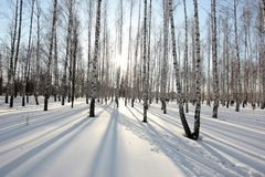 Birch trees in the setting sun in the winter park Royalty Free Stock Images