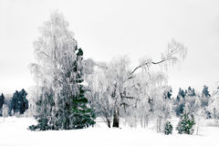 Winter landscape with birch tree Royalty Free Stock Images