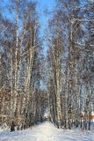 Winter landscape with birch trees. Stock Photos