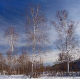 Winter landscape with birches Royalty Free Stock Images