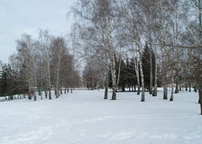 Winter landscape. With birches on a background of white snow and cloudy sky Stock Photography