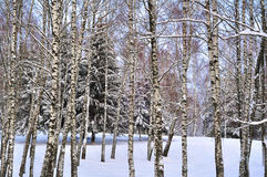 Winter landscape birches and spruce Royalty Free Stock Images