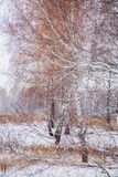 Winter landscape with a birchwood Stock Photography