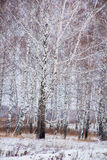 Winter landscape with a birchwood Stock Image