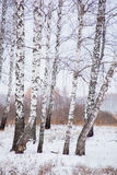 Winter landscape with a birchwood Royalty Free Stock Photo