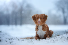 Winter landscape, blue chihuahua breed tollerdog on snow Stock Photo