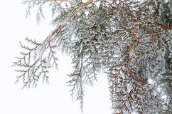 Winter landscape, branches arborvitae closeup. Christmas background, fir branches covered with frost Royalty Free Stock Images
