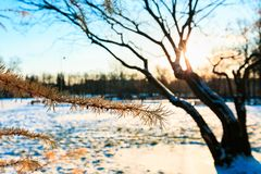 Winter landscape. Branches of larch with orange needles against leafless tree in sunny evening in winter. Sunset in the wood. Selective focus royalty free stock image