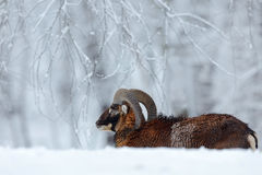 Winter landscape with brown animal. Mouflon, Ovis orientalis, winter scene with snow in the forest, horned animal in the nature ha. Bitat, Czech Royalty Free Stock Photography
