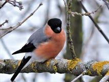Portrait of bright bullfinch on the branch in winter