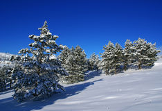 Winter landscape C. Spruce trees covered by snow in beautiful winter landscape Royalty Free Stock Photography