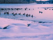 Winter landscape with Canadian Geese at the lake shore Royalty Free Stock Photo