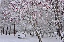 Winter landscape in city park with bench under the rowanberry tr Royalty Free Stock Images