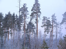 Winter landscape on cloudy frosty day. Winter landscape with pines on cloudy winter day Royalty Free Stock Photography