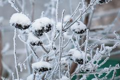 Winter landscape: clusters of black rowan covered with snow and hoarfrost. royalty free stock photo