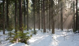 Winter landscape of coniferous stand Stock Photo