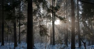 Winter landscape of coniferous stand Stock Images