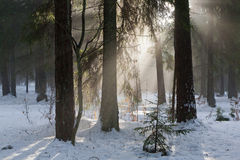 Winter landscape of coniferous stand Royalty Free Stock Image
