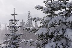 Winter landscape with conifers. Winter landscape beautiful conifers covered with snow Stock Image