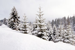 Winter landscape with conifers. Winter landscape beautiful conifers covered with snow Stock Photos