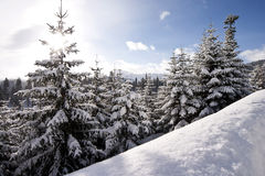 Winter landscape with conifers. Winter landscape beautiful conifers covered with snow Stock Photo