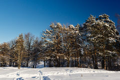 Winter landscape with covered snow trees Royalty Free Stock Photo