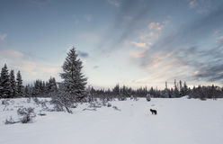 Winter Landscape with Coyote Stock Images