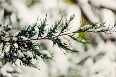 Winter landscape. The cypress twig under the snow. Selective foc Royalty Free Stock Photography