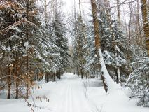 Winter landscape in the deep woods. Fir and old birches on the sides, fresh snow and skitrack in the center Stock Photography