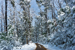 Winter landscape of dirt road and high trees covered with snow Royalty Free Stock Image