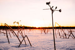 Winter landscape with dry frozen bush Royalty Free Stock Images