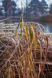 Winter landscape with dry pattern of reeds covered with frost. Plant and water in coldness season. Frozen lake with dry grass in hoarfrost in the foreground, the royalty free stock images