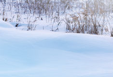 Winter landscape. Dry plants in snow in the winter. Stock Photos