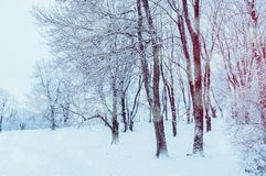 Winter landscape with falling snow - wonderland winter forest with snowfall in the winter grove. Snowy winter scene Royalty Free Stock Photos