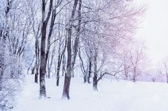 Winter landscape with falling snow - wonderland forest with snowfall in the winter grove. Snowy winter scene Stock Image