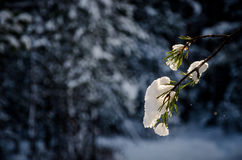 Winter landscape. Landscape at winter in Finland. Snow is falling on pinetree Royalty Free Stock Images
