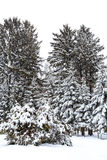 Winter landscape. Fir trees covered with snow Royalty Free Stock Image