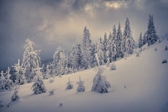 Winter landscape with fir-trees and fresh snow. Royalty Free Stock Photo
